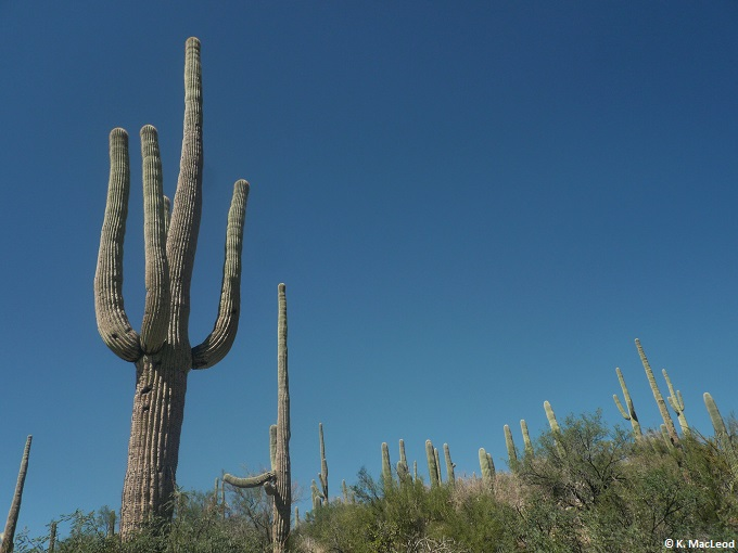 Saguaro cactus in Sabino Canyon