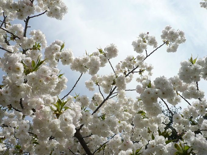 White cherry blossoms at Brooklyn Botanic Garden