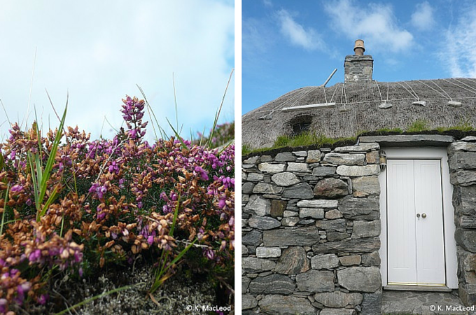 Heather in bloom at the Gearrannan Blackhouse Village