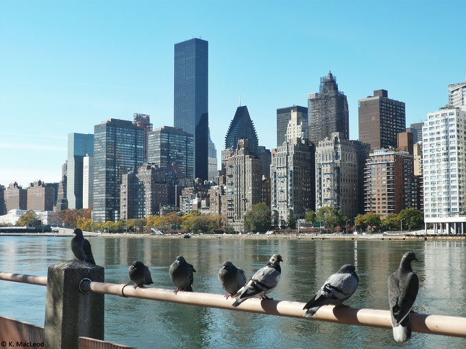 Roosevelt Island Pigeons