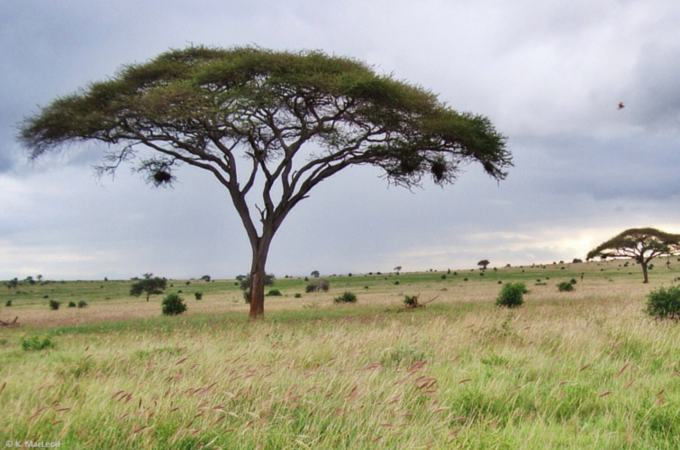 Umbrella tree seen on safari in Tsavo West