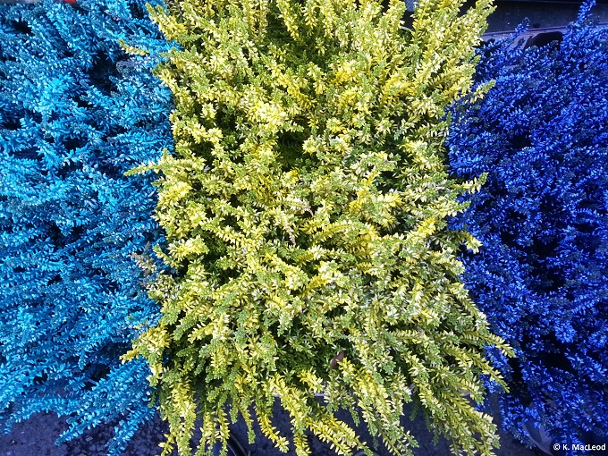 Columbia Rd Blue Flowers