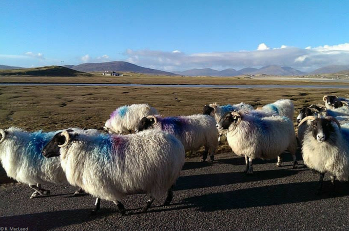 Sheep traffic jam near Seilebost, Isle of Harris