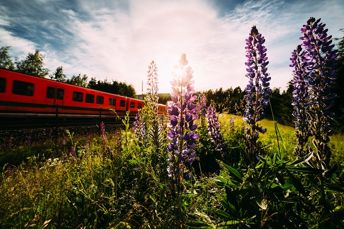 Lupines by a metro station in Helsinki