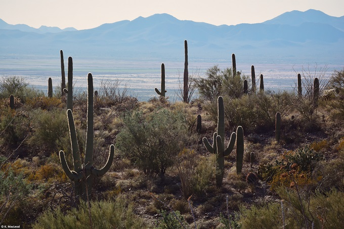 Cacti and mountains in the Sonoran Desert