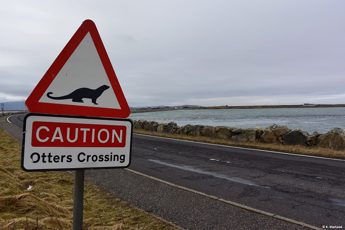 Otters crossing, Benbecula