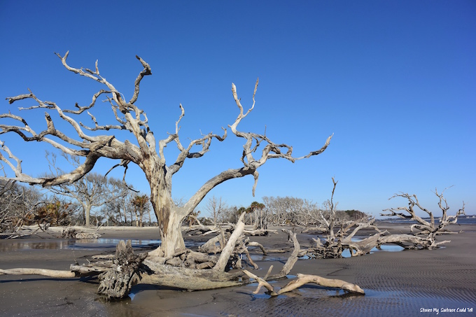 Driftwood Beach Trees